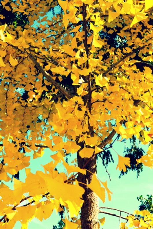 gingko-tree